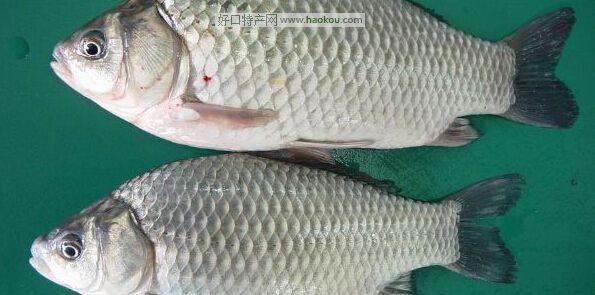 潮白河鲫鱼|天津特产