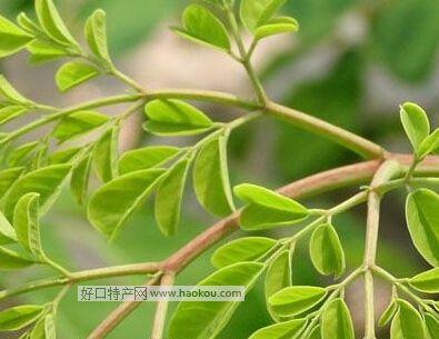 天竺辣木|厦门特产