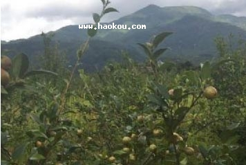 白水油茶籽