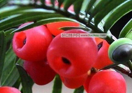 明溪红豆杉