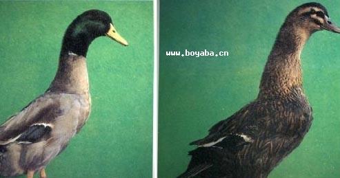 建昌鸭|凉山特产