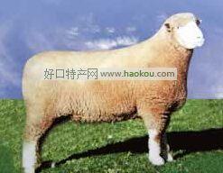 无角道塞特羊|天津特产