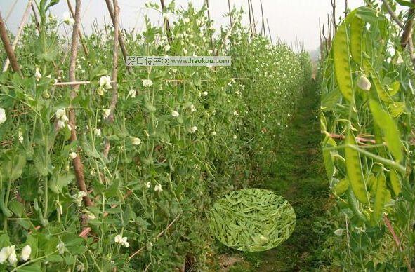 水井荷兰豆
