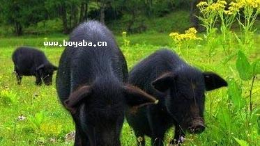 螺髻山黑猪|凉山特产