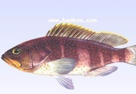 电白石斑鱼