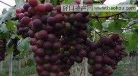 """""""滨珠""""葡萄"""